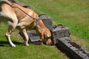 Dog searching in a cemetery