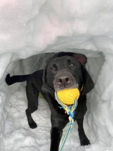Black dog in the snow holding a yellow ball in his mouth